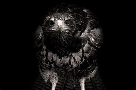 wallpaper elang hitam elang pada latar belakang hitam alam gratis foto download