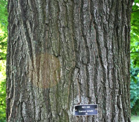how to small not to bark types of oak trees with pictures of trunk bark owlcation