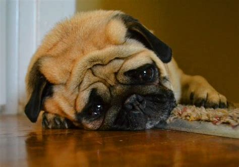 why do puppies cry can dogs cry why do dogs cry myths and reality of tears