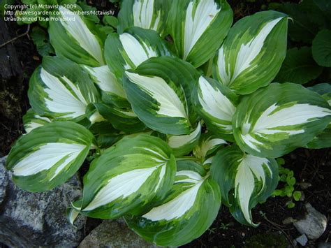 plantfiles pictures hosta undulata univittata hosta