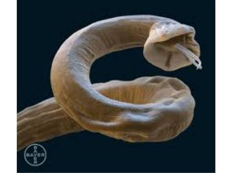 lungworm in dogs lungworm is your at risk jersey vets ltd