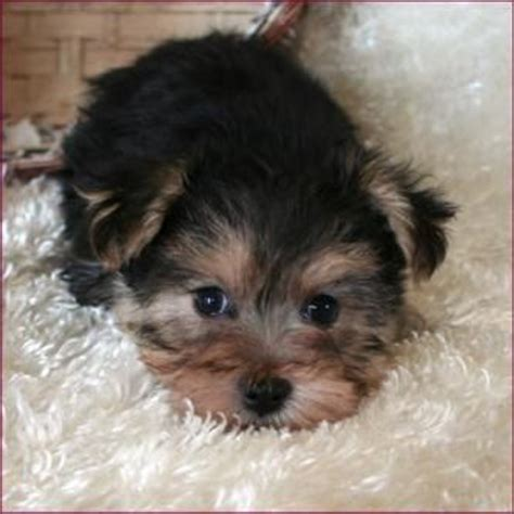 black yorkie puppies for sale morkie yorktese yorkie maltese puppies for sale for jules terrier mix
