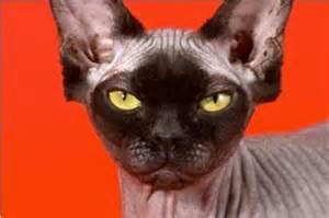 non shedding cat breeds