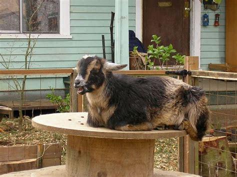 Backyard Goat by Why Goats May Be Coming To An Backyard Near You