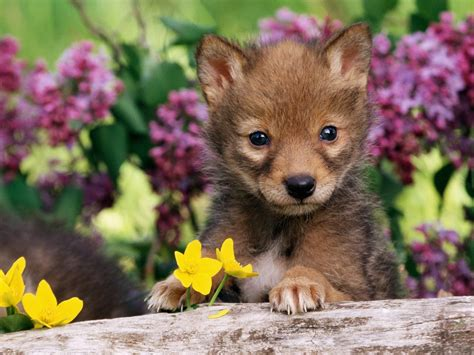 pup animal baby animals images coyote pup hd wallpaper and background photos 19816875