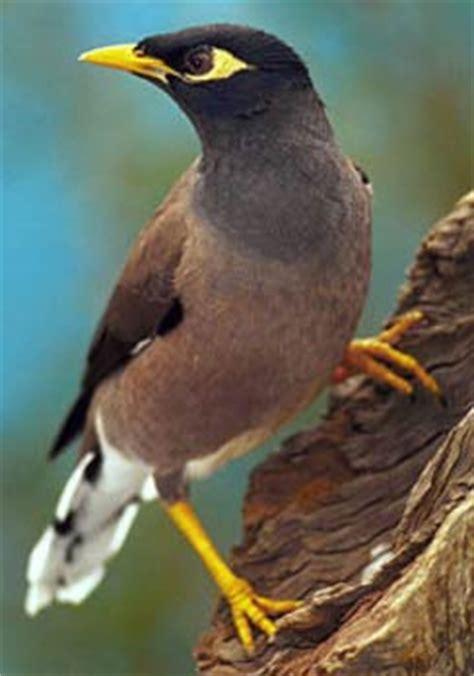 myna bird flying