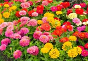 Variety Of Flowers For Garden 100 Zinnia Pumila Mix Flower Seeds For Your Garden Variety Of Beautiful Color Ebay