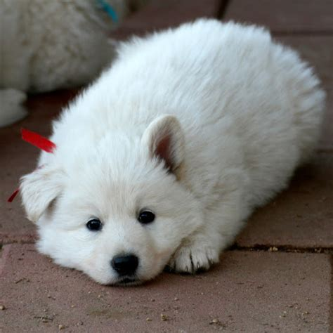 berger blanc suisse puppies for sale dogs and cats breed berger blanc suisse white swiss shepherd breeds picture