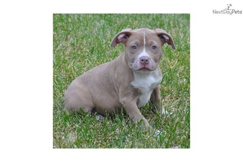 american pitbull terrier puppies for sale american pit bull terriers for sale in new york breeds picture