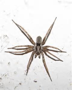 california house spiders california house spiders 28 images california garden spider photo gnaphosid