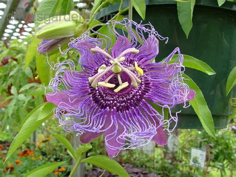 plantfiles pictures passiflora passion flower passion
