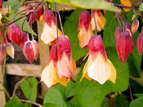 flowering climbing plants top 10 climbing plants for a small trellis
