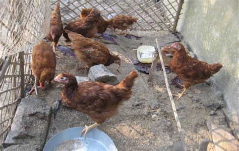 backyard poultry farming backyard poultry farming through self help groups in west bengal towards good