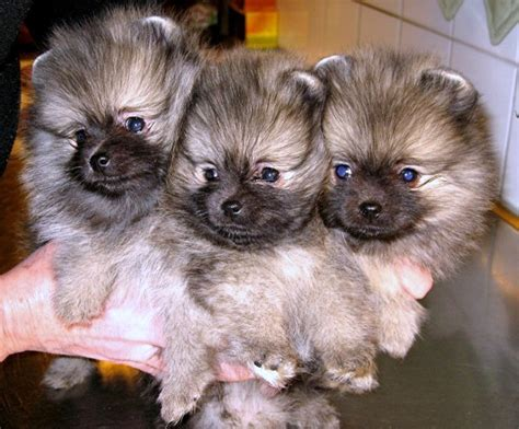 pomeranian puppies iowa pomeranian husky mix puppies for sale in iowa breeds picture