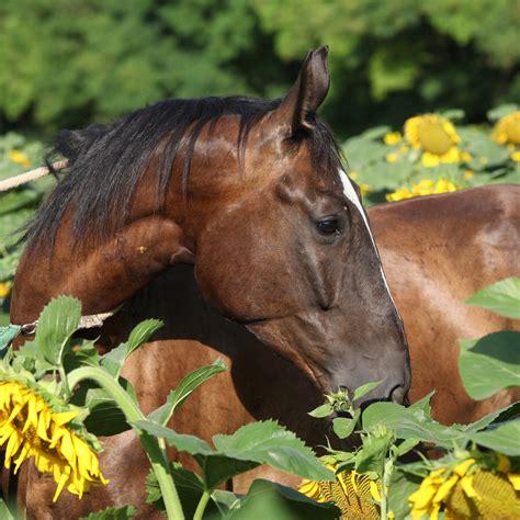 black sunflower seeds to horses black sunflower seeds for horses the equine nutrition