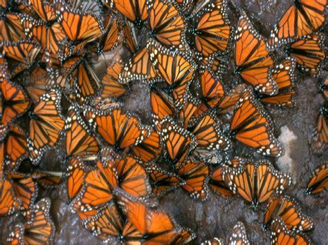 imagenes de mariposas national geographic mariposas national geographic apexwallpapers com