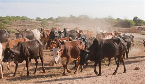 working cattle ranches in south africa giraffe populations plummet in africa californians for