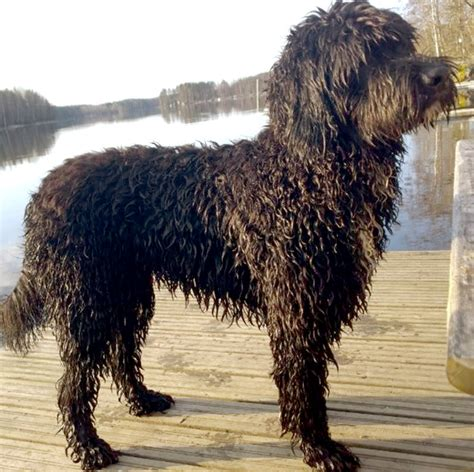 barbet puppies barbet info history temperament puppy pictures
