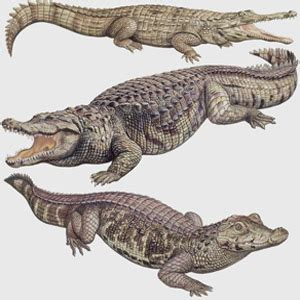 Japit Buaya Kecil Jepitan Crocodile Kecil perbedaan antara buaya dan alligator usaha321 net