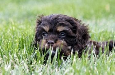 cockapoo puppies for sale in wi 17 best ideas about cockapoo puppies for sale on cockapoo pups for sale