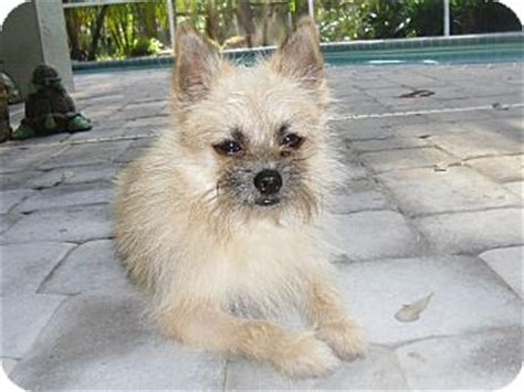 brussels griffon pomeranian mix chewy adopted odessa fl pomeranian brussels griffon mix