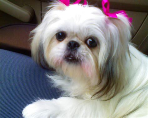 all about shih tzu puppies photos of shih tzu haircuts blackhairstylecuts