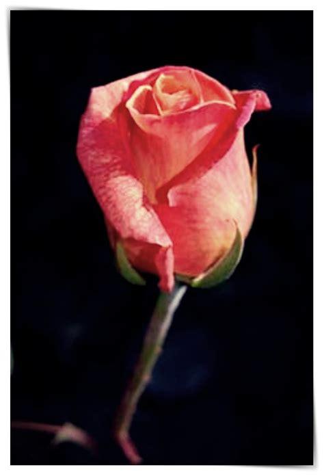imagenes que se mueven de flores imagenes de rosas q se mueven dibujo imagenes