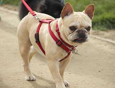 Do Bull Dogs Shed by Do Bulldogs Shed And How To Keep Shedding