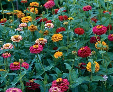 Zinnias Flower Garden Zinnia Flower Garden