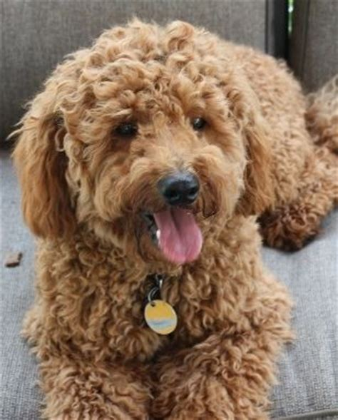 goldendoodle puppy personality 8 best images about dogs on poodles kid