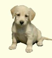 labradoodle puppies for sale ny 17 best ideas about labradoodle puppies for sale on labradoodle breeders