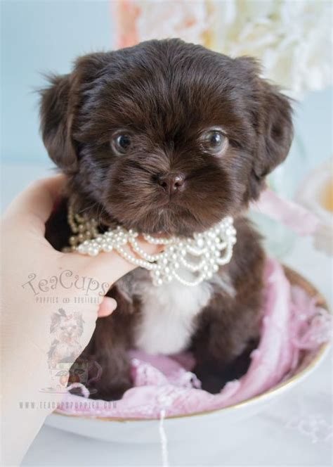 shih tzu teacups tiny teacup shih tzu puppies breeds picture