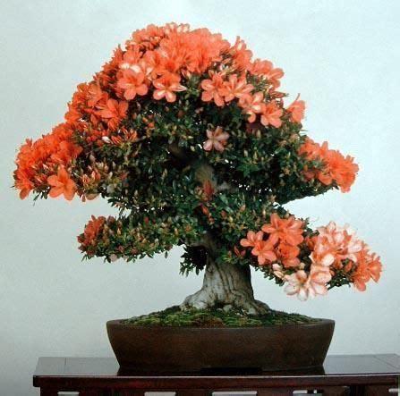 azalea bonsai starke ayres garden centre cape town nursery