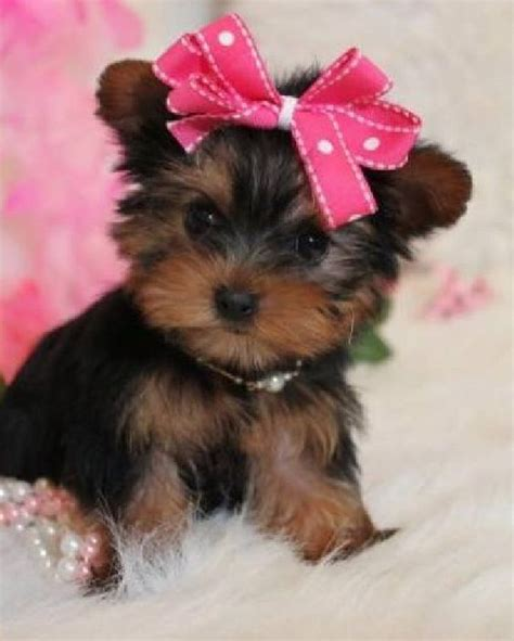 i want a yorkie yorkie image search and i want on