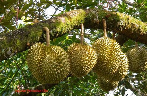 mudah menanam durian  cepat berbuah