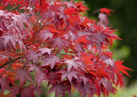maple tree planting spacing planting maple tree at your home garden gardening tips gardening ideas