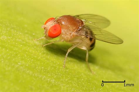 fruit flies in drosophila simple english wikipedia the free encyclopedia