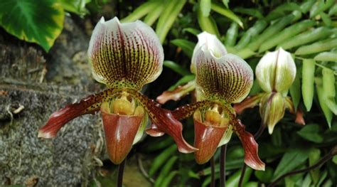 parte ricurva vaso orquideas terrestres brasileiras fotos