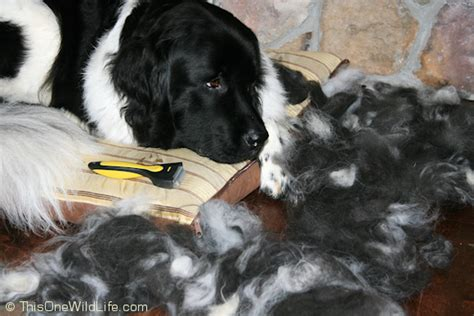 short haired newfoundland dogs pet grooming tools shedmonster vs dust buffalo this