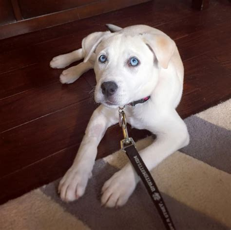 labsky puppy labsky labrador mixed with a husky look at those baby blues rebrn