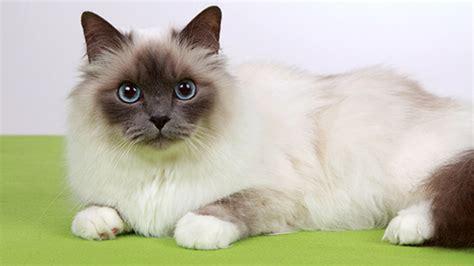 gatto da appartamento razza le 5 migliori razze di gatti per bambini greenstyle
