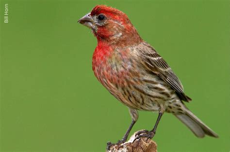 house finch lifespan house finch oklahoma department of wildlife conservation