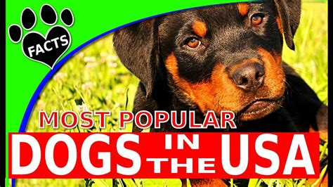 most popular breeds 2017 top 10 most popular breeds in america 2017 dogs 101 bravecto flea