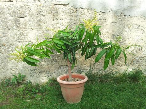pianta di mango in vaso consigli di coltivazione mango mangifera indica in