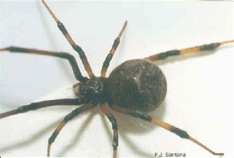 brown patterned spider black and brown spider california pictures to pin on