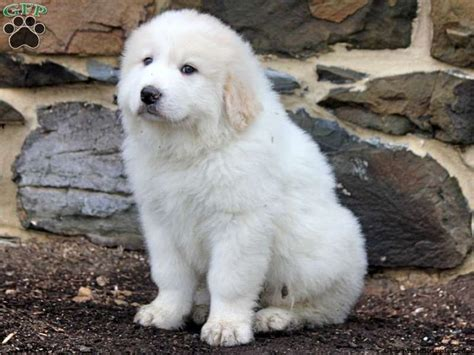 great bernese puppies for sale 25 best ideas about great bernese on cutest mixes great pyrenees