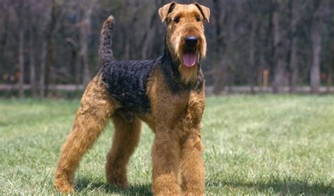 airedale dogs airedale terrier breed information