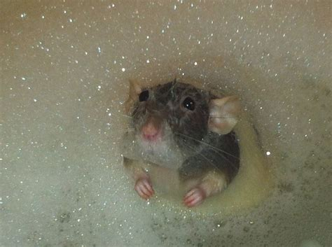 mice in bathroom dumbo rat in the bath oh rats pinterest