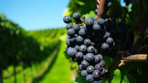 wallpaper grapes  food
