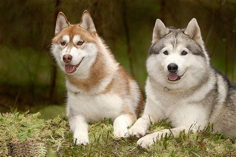 most beautiful dogs all list of different dogs breeds beautiful breeds